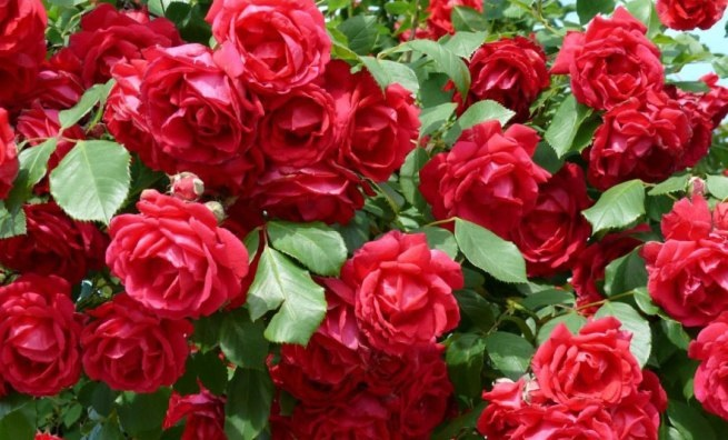 multiplicacion-de-rosas-por-semillas